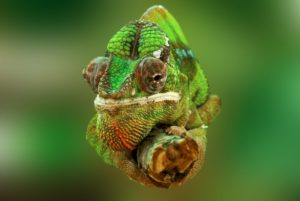 Chameleon on branch as a methaphor for adapting your communication approach